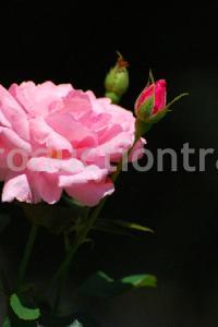 Bud of a rose
