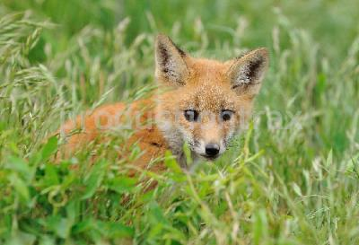 Red Fox Kit - Curious one.