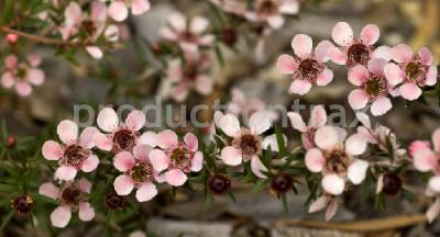Australian leptospernum pink flowers