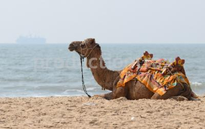 Camel Resting Near The Sea